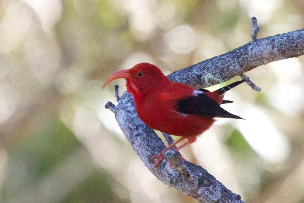 Чёрно-алая гавайская цветочница фото