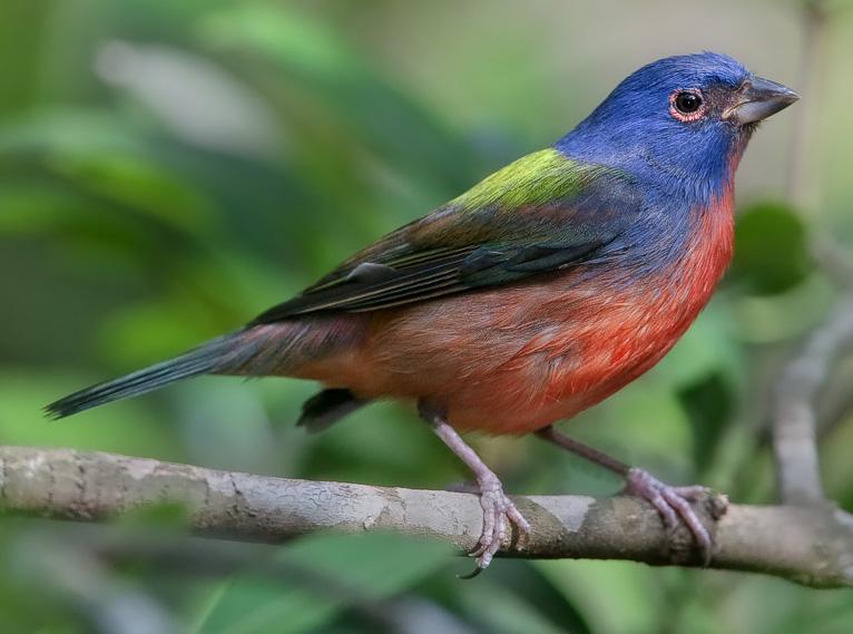 Расписной овсянковый кардинал фото