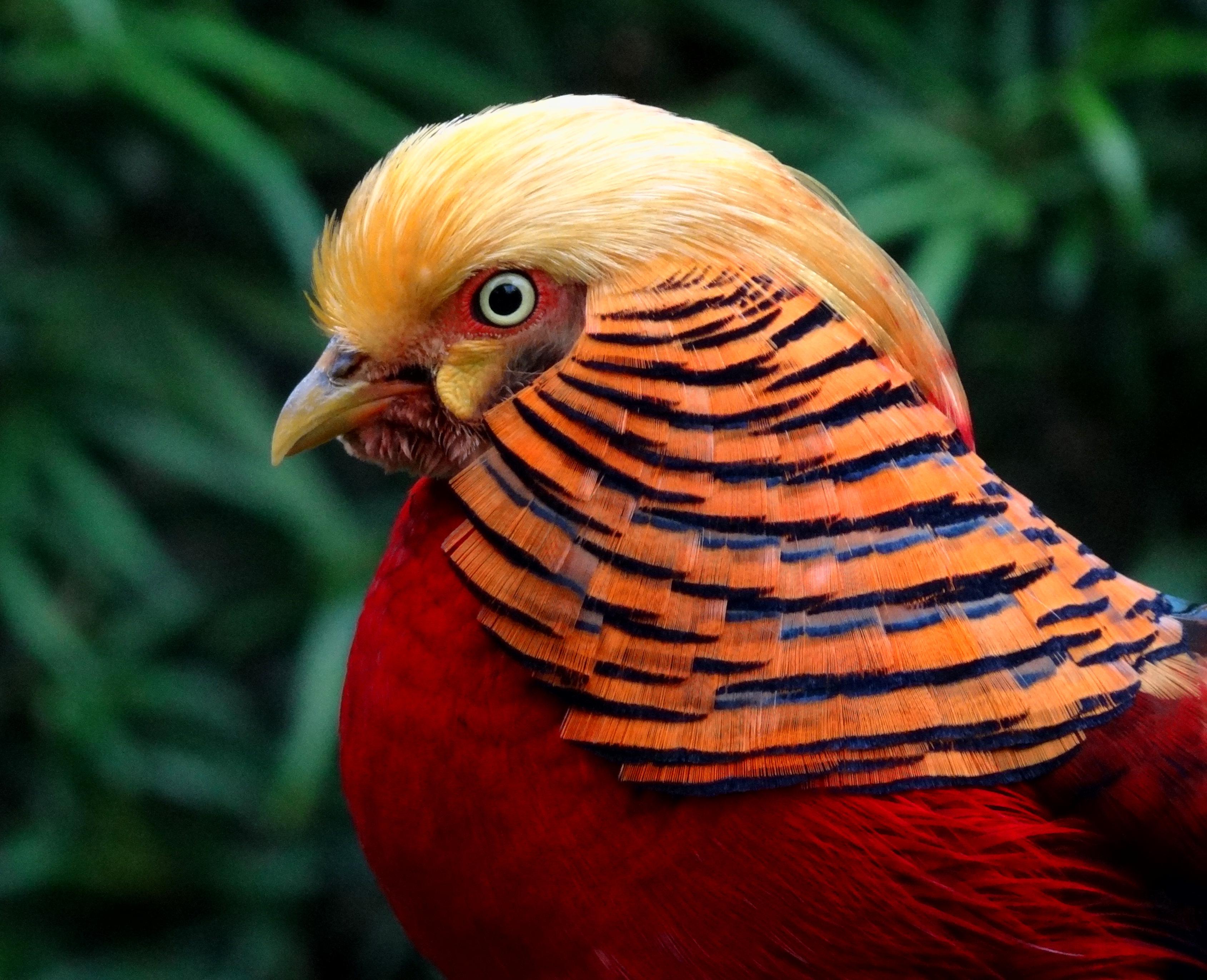 Золотой фазан фото