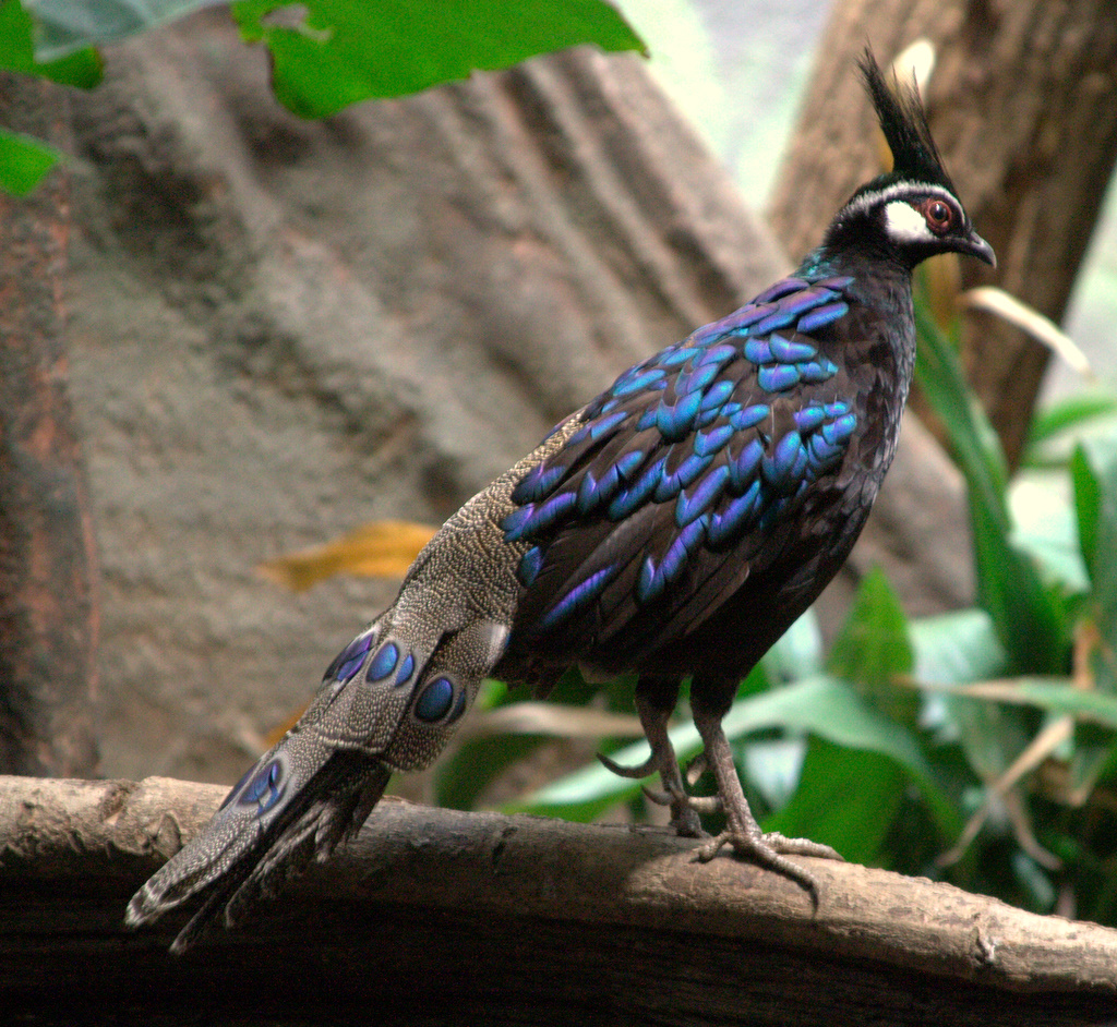 Палаванский павлиновый фазан фото