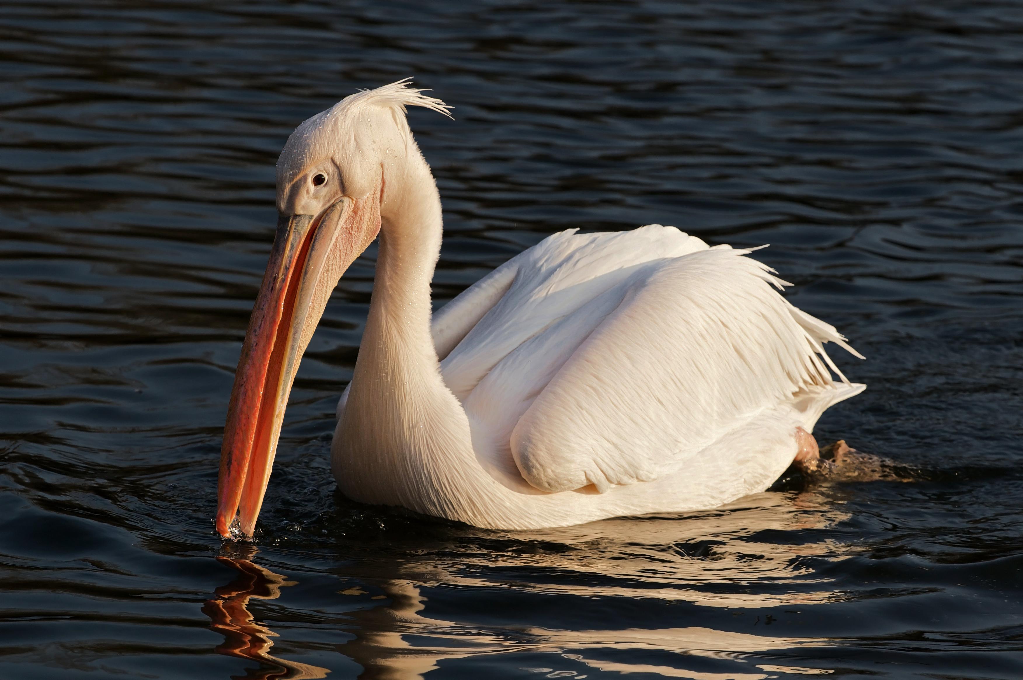 Розовый пеликан фото