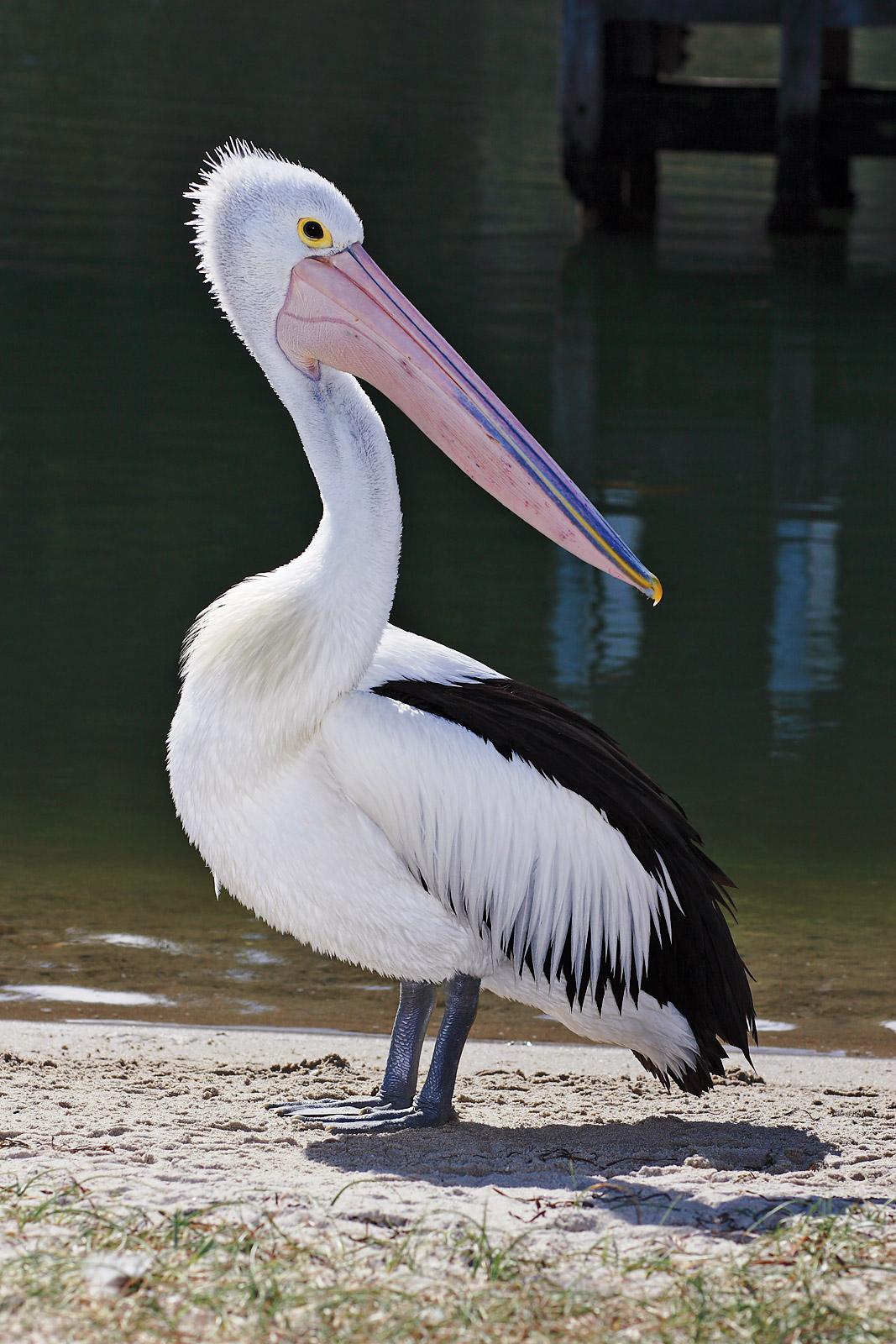 Австралийский пеликан фото