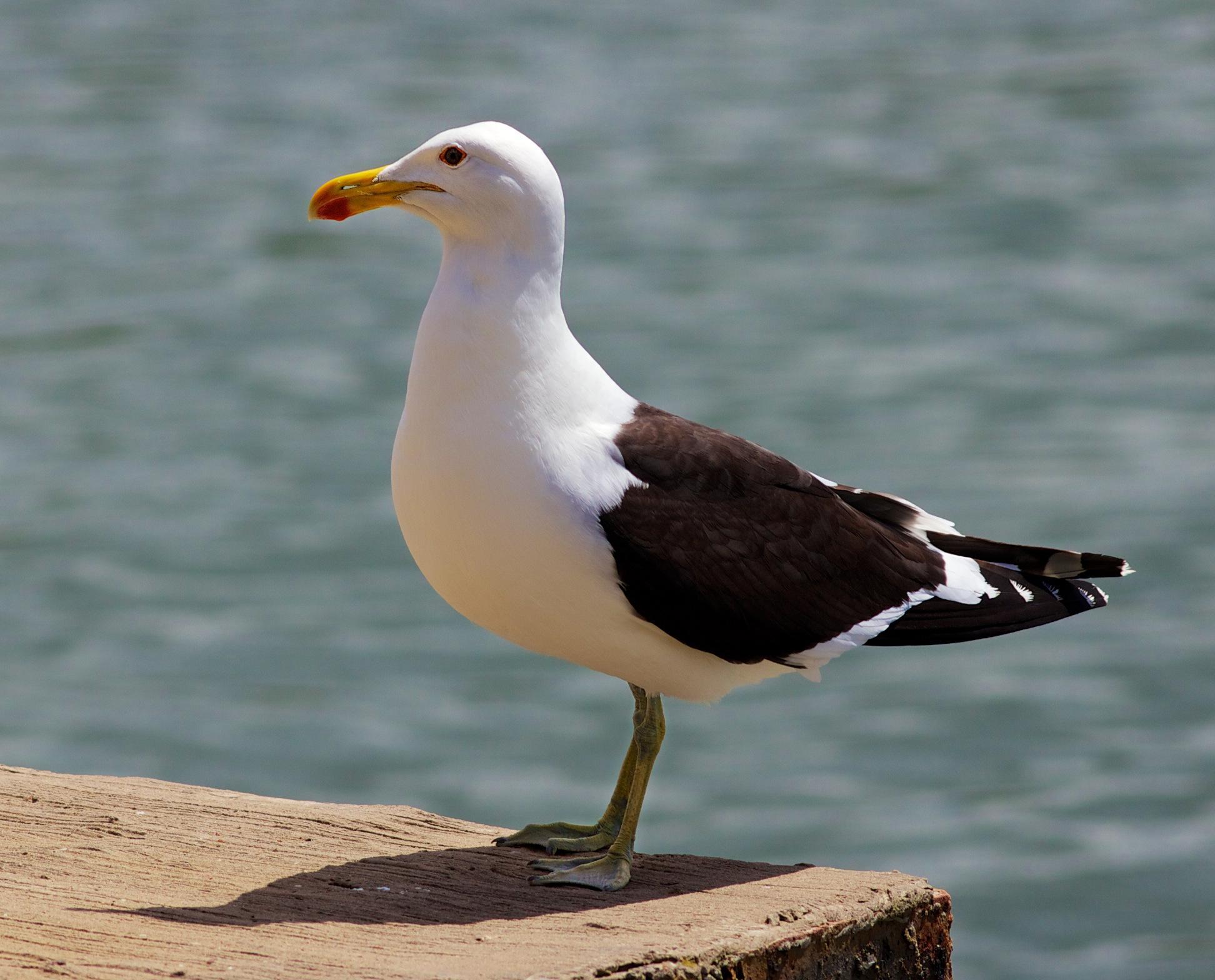 Доминиканская чайка фото