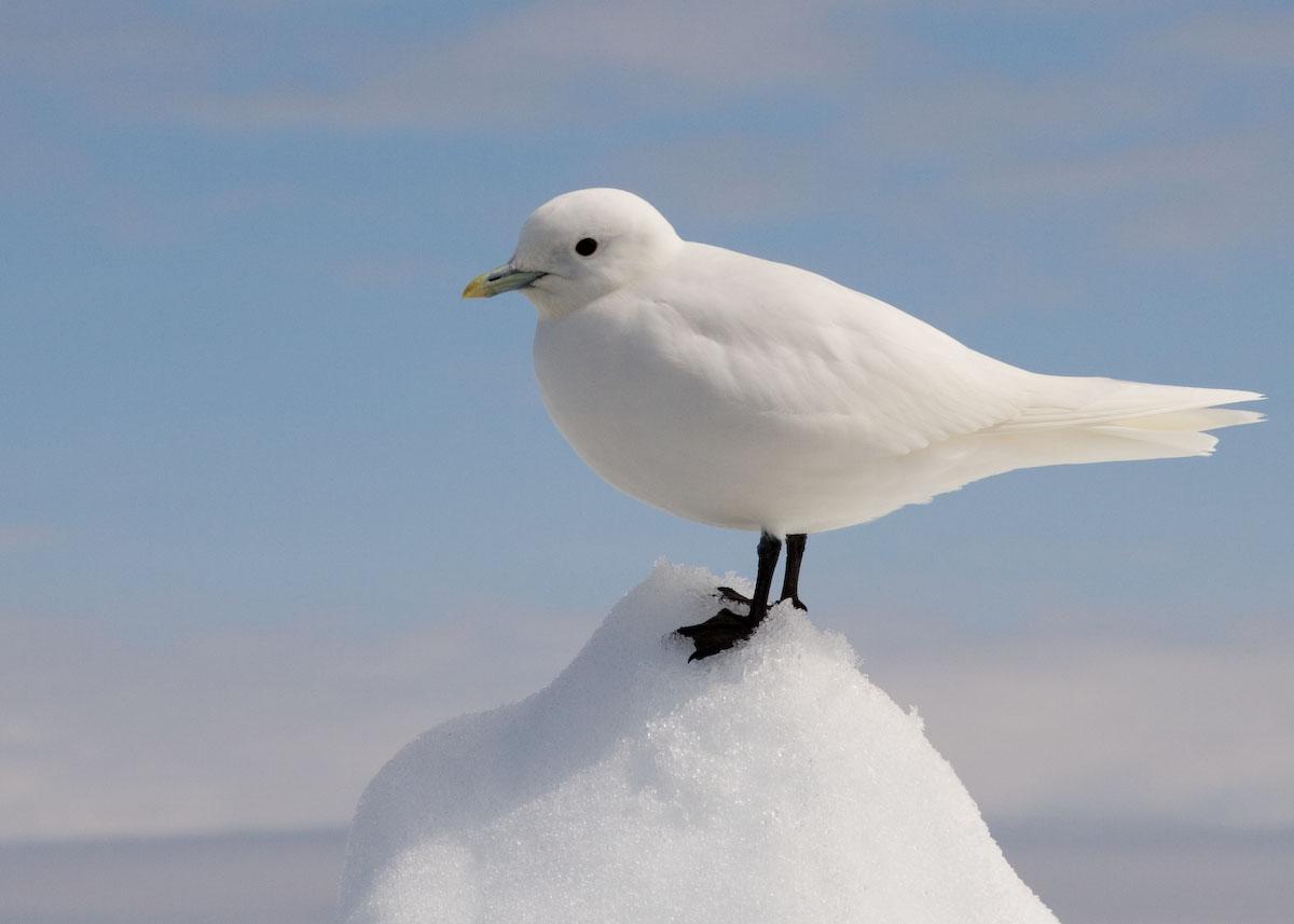 Белая чайка фото