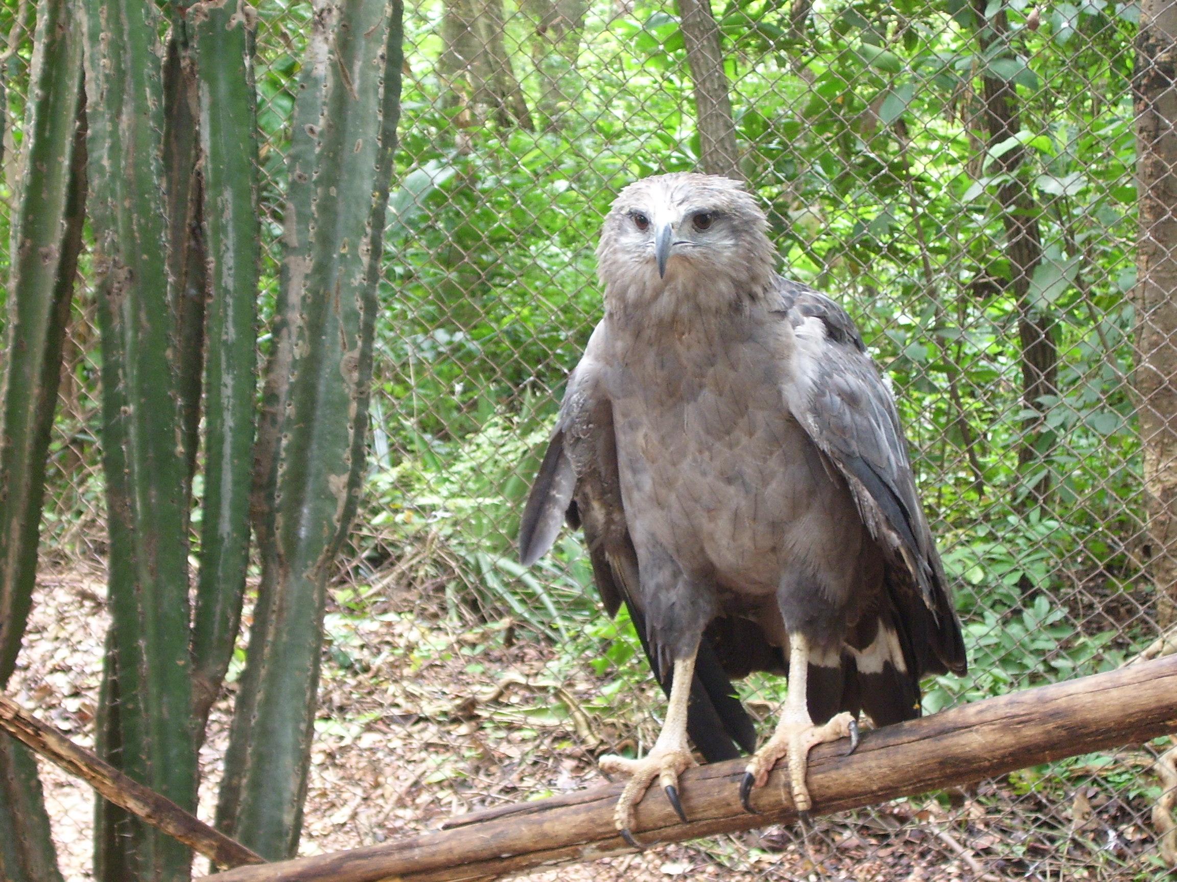Чёрный орёл-отшельник фото