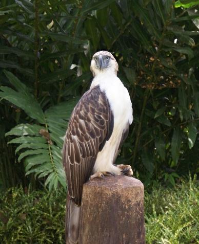 Филиппинский орёл фото