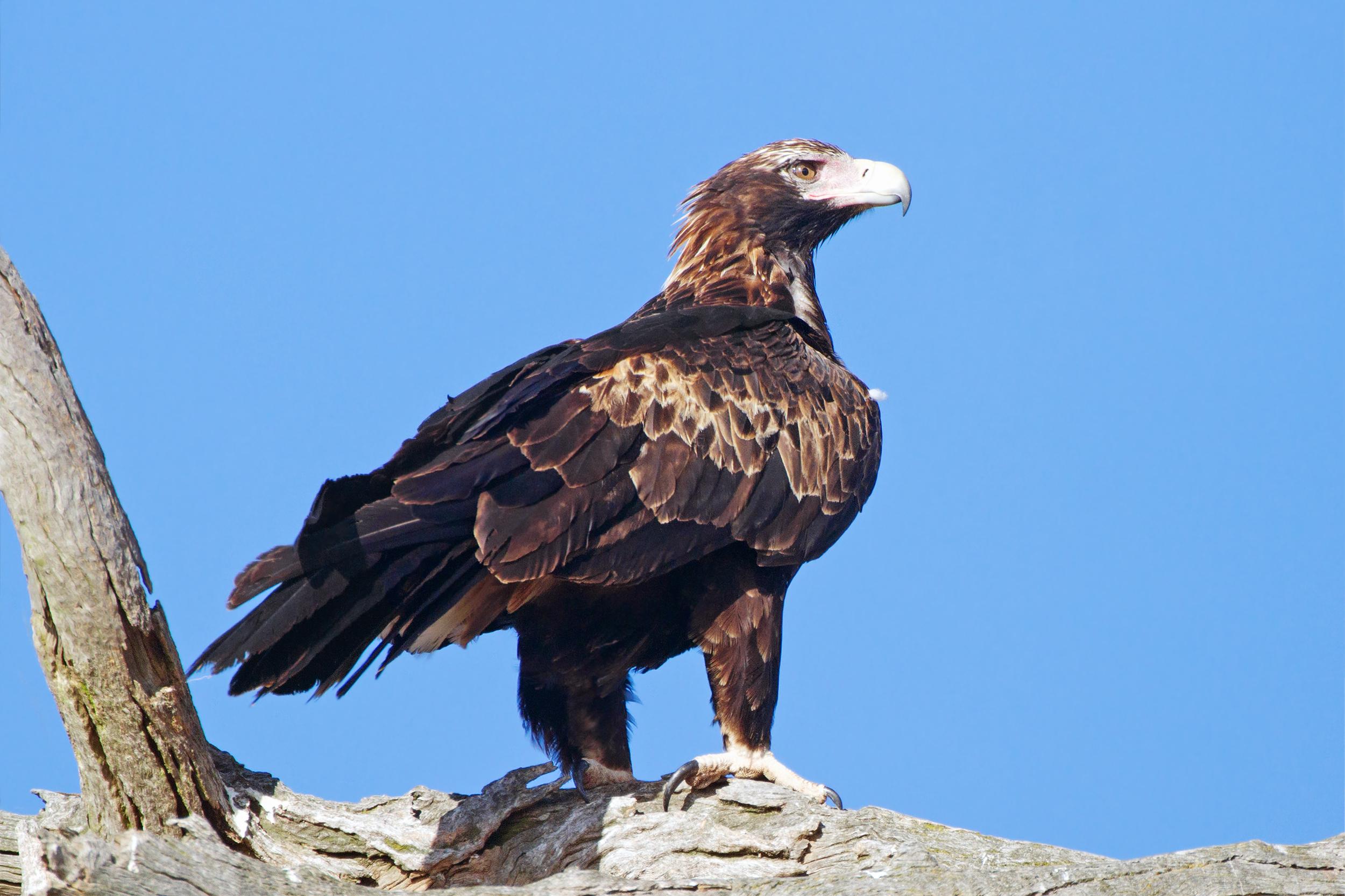 Клинохвостый орёл фото
