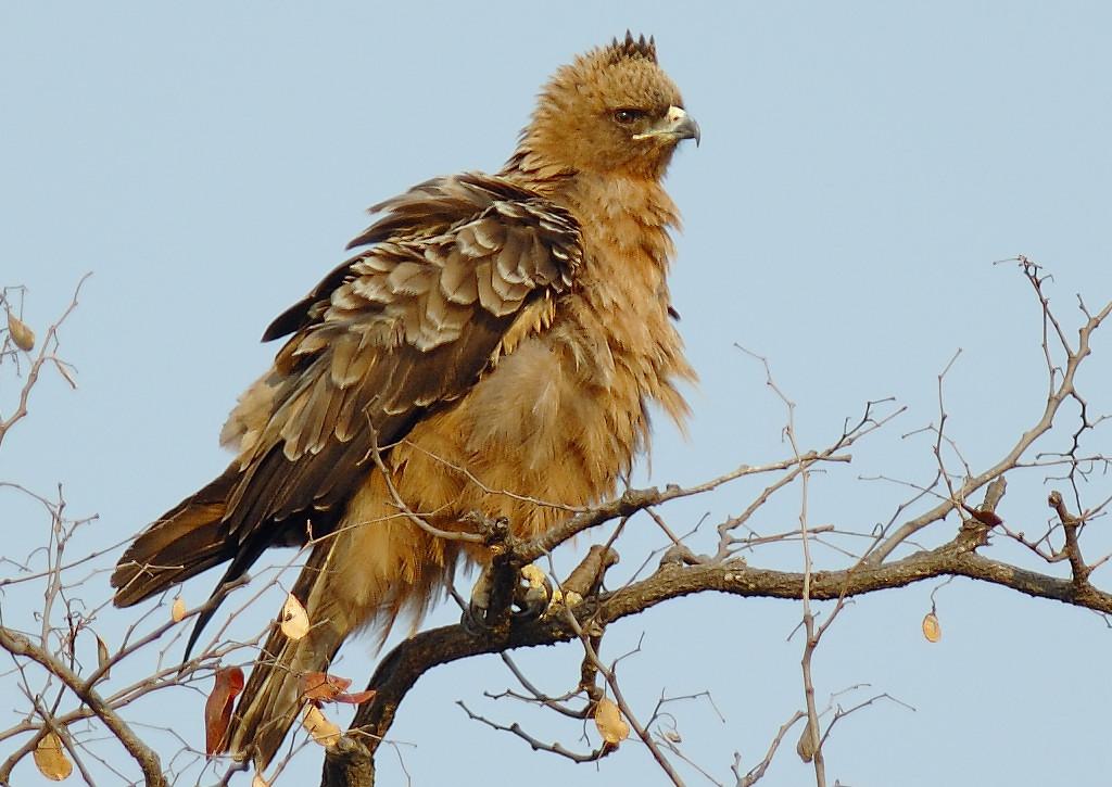 Серебристый орёл фото