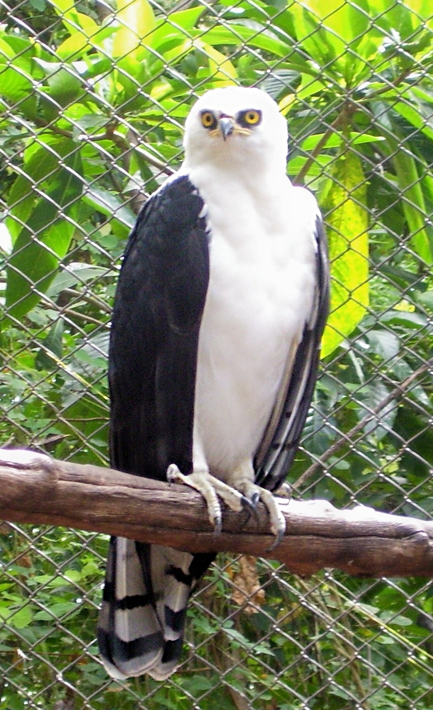 Чёрно-белый орёл фото