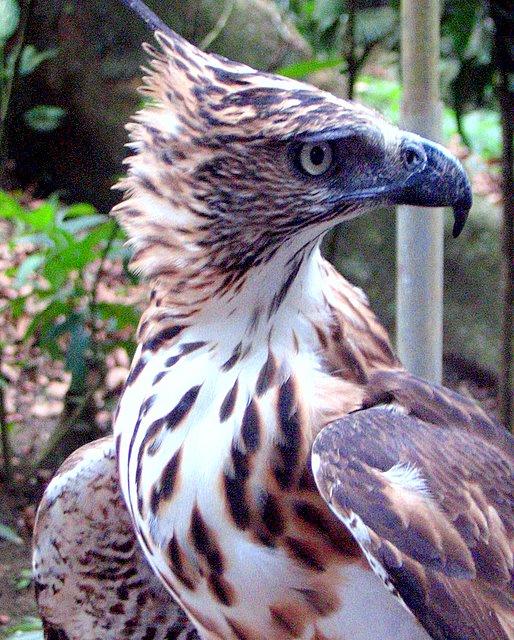 Филиппинский хохлатый орел фото