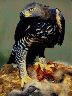 Венценосный орёл фото
