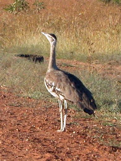 Австралийская большая дрофа фото