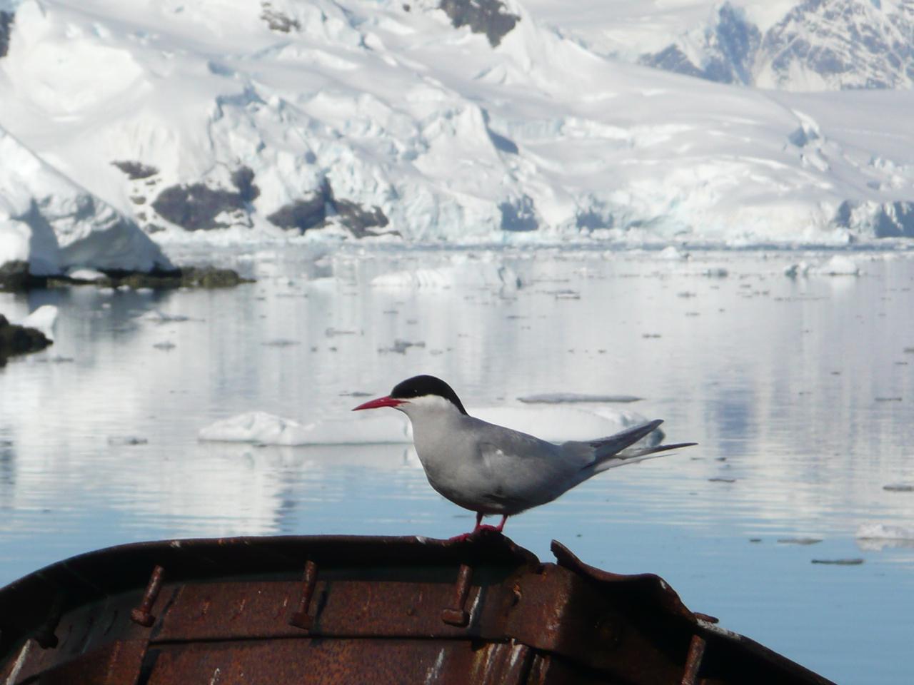 Антарктическая крачка фото