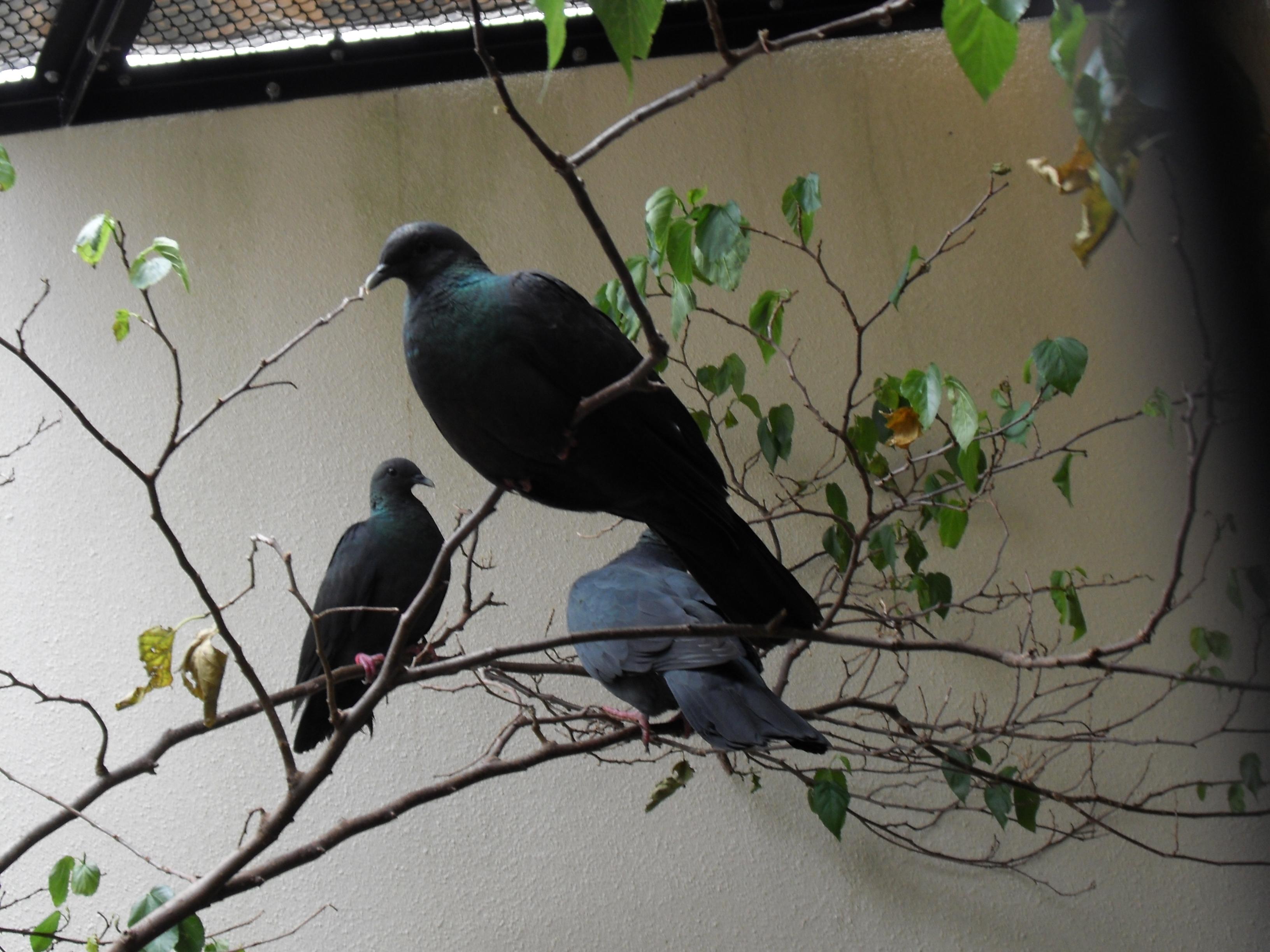 Чёрный голубь фото