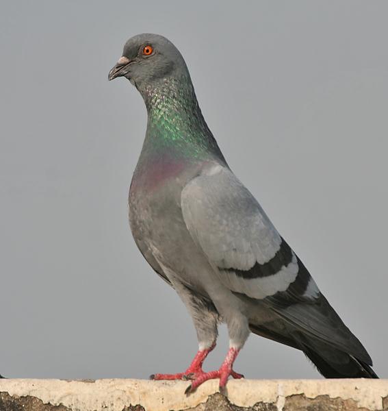Сизый голубь фото