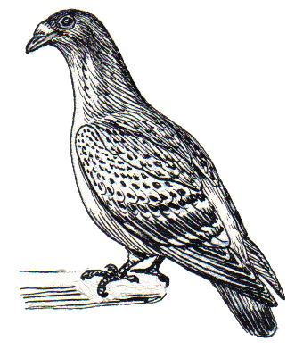 Рябчиковый голубь фото