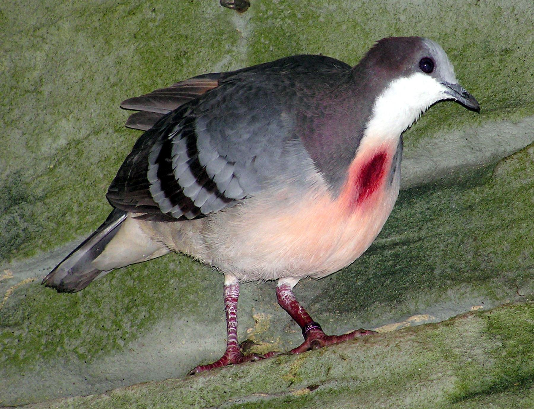 Красногрудый куриный голубь фото