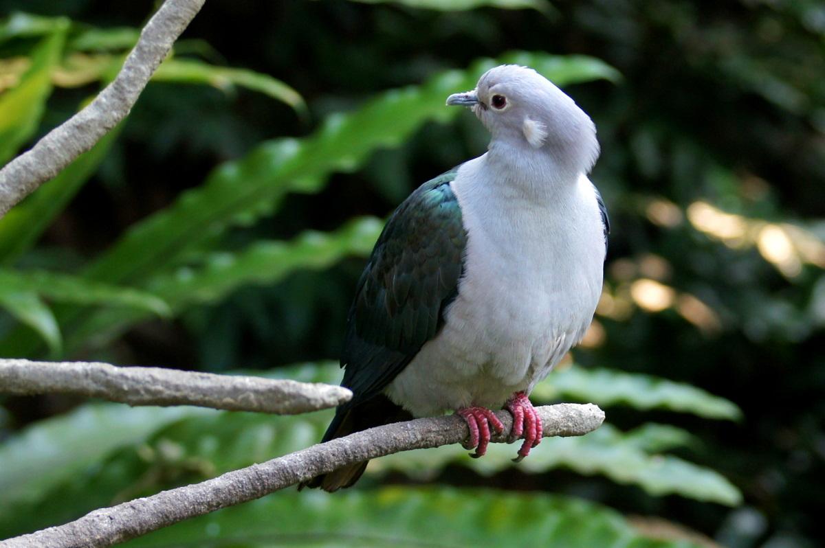 Мускатный плодоядный голубь фото