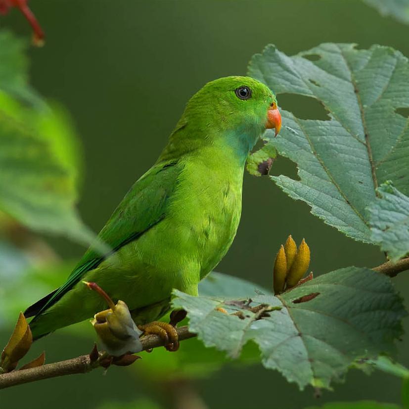 Весенний висячий попугайчик фото