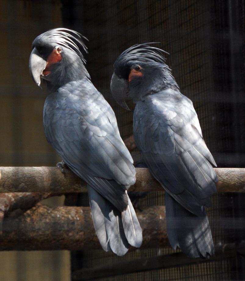 Чёрный какаду фото