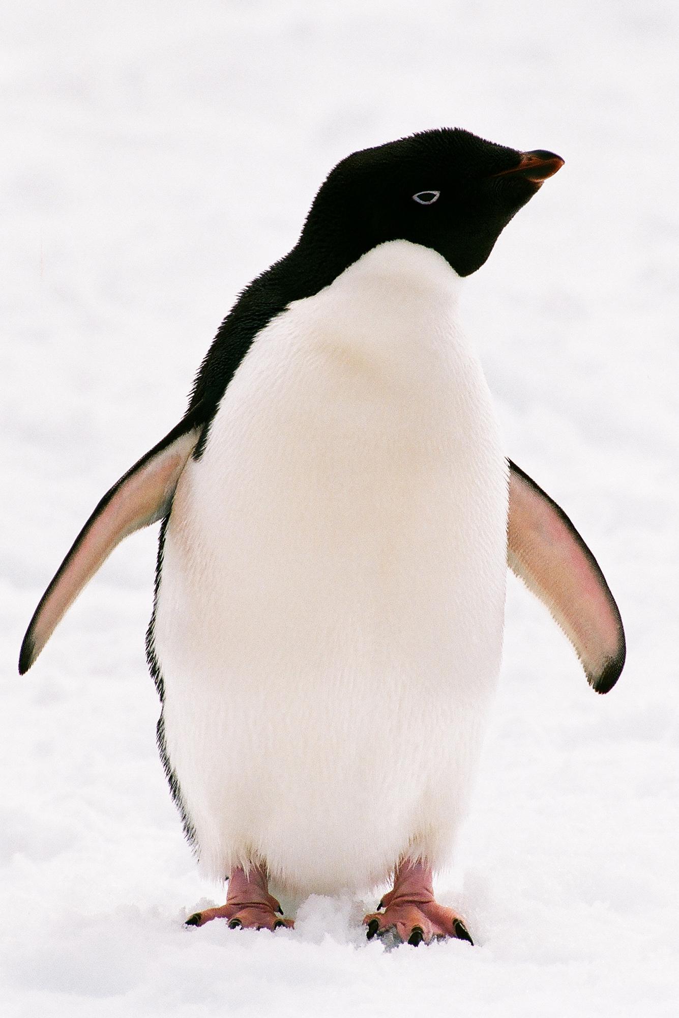 Пингвин Адели фото