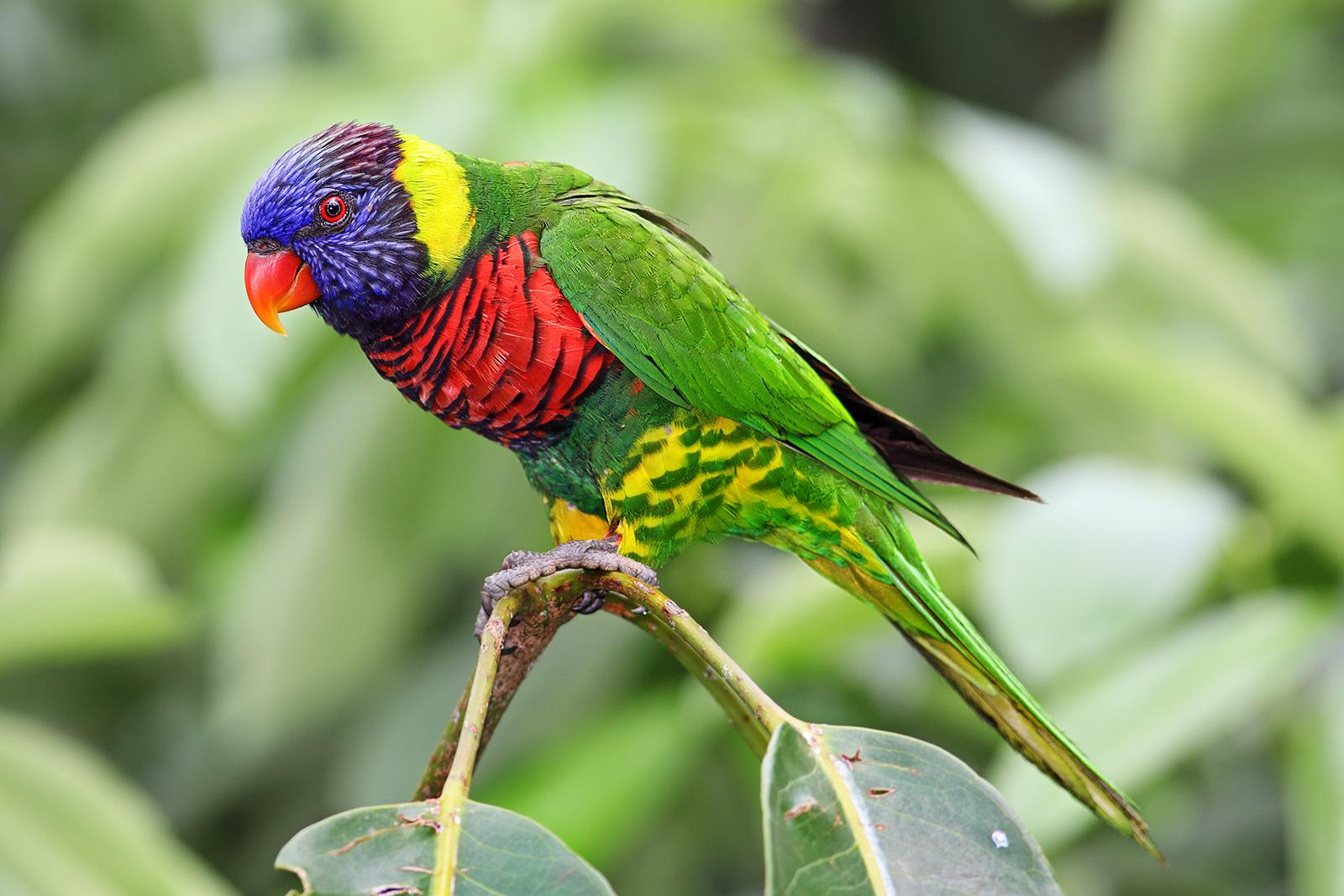 Многоцветный лорикет фото