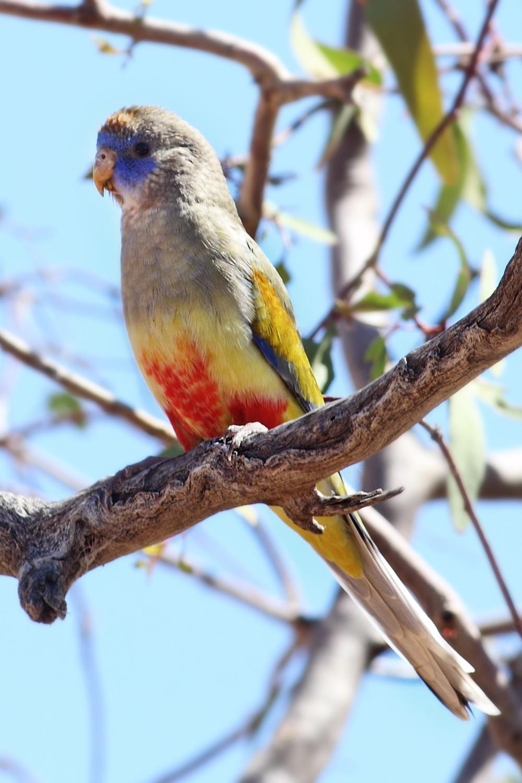 Кровавобрюхий плоскохвостый попугай фото