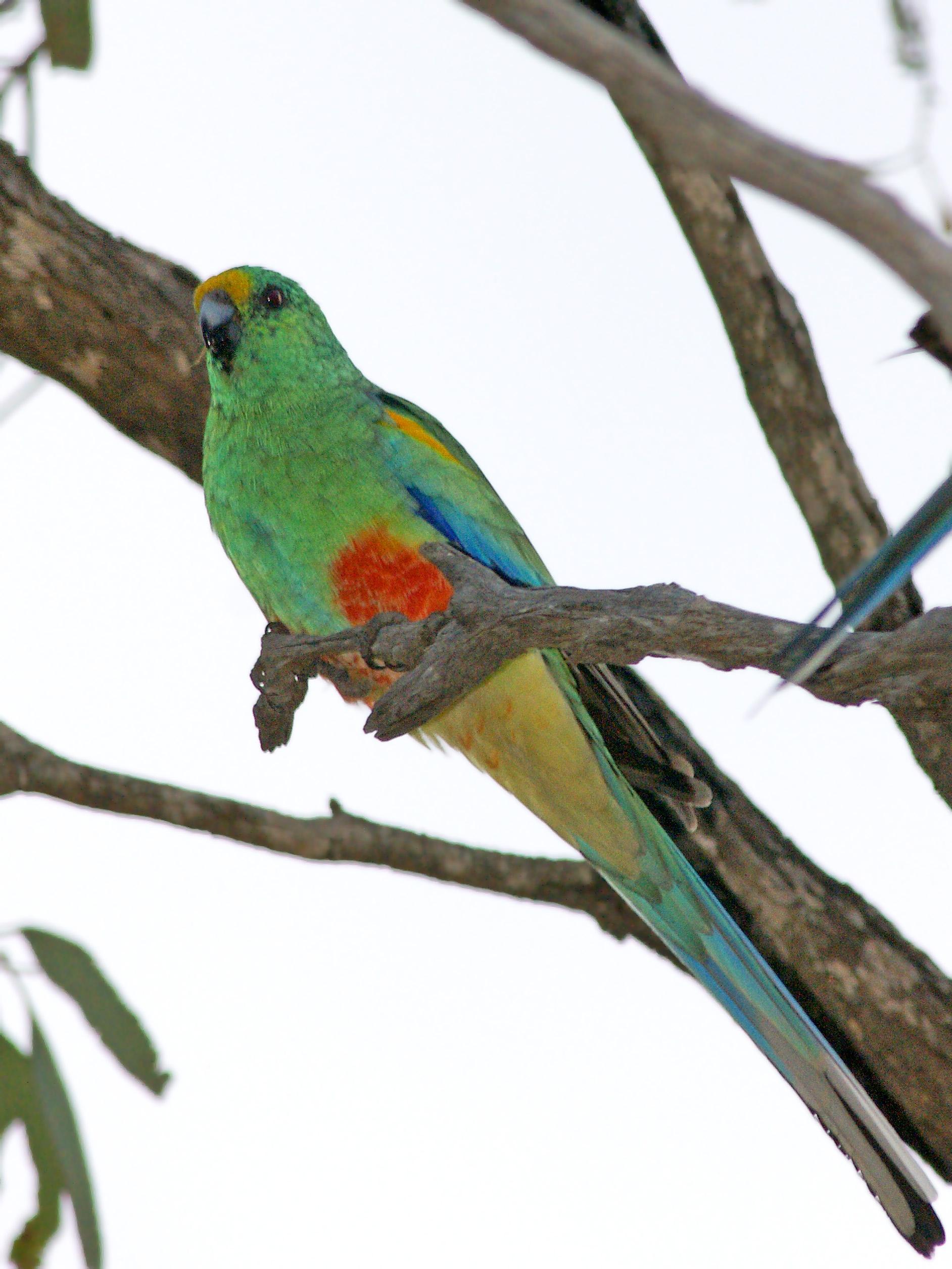 Разноцветный плоскохвостый попугай фото