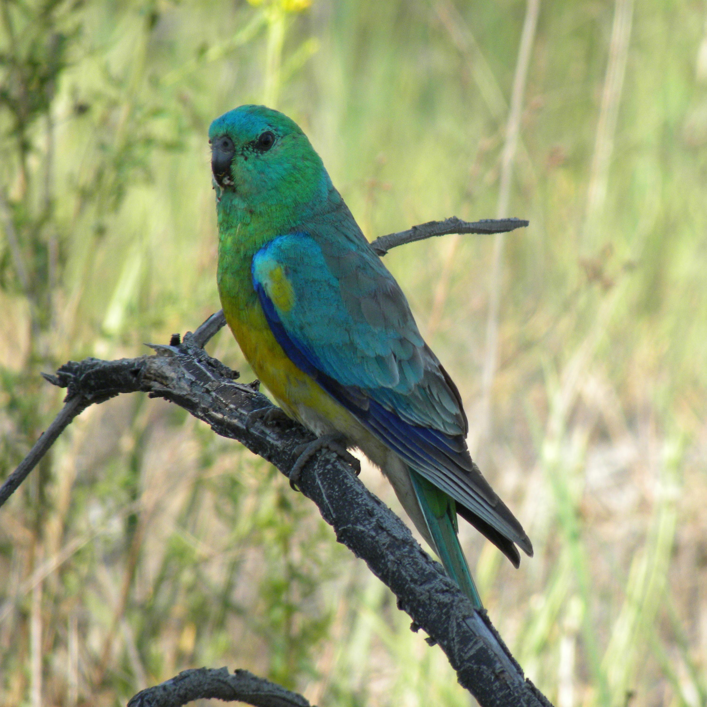 Певчий попугай фото