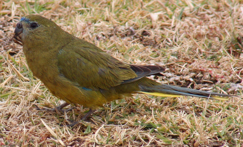 Скальный травяной попугайчик фото