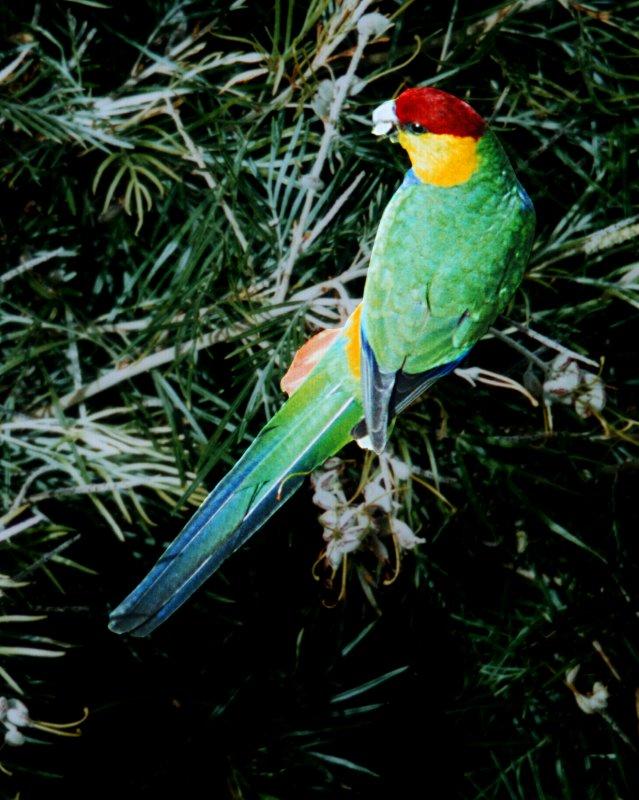 Красношапочный попугай фото