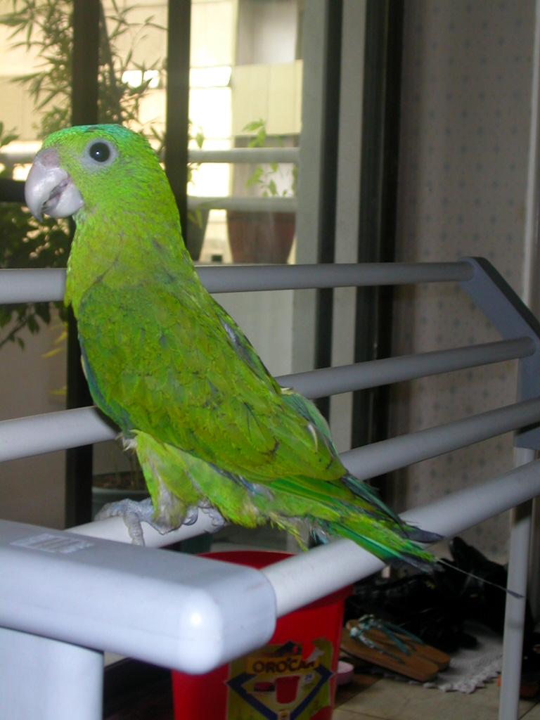 Синешапочный ракетохвостый попугай фото