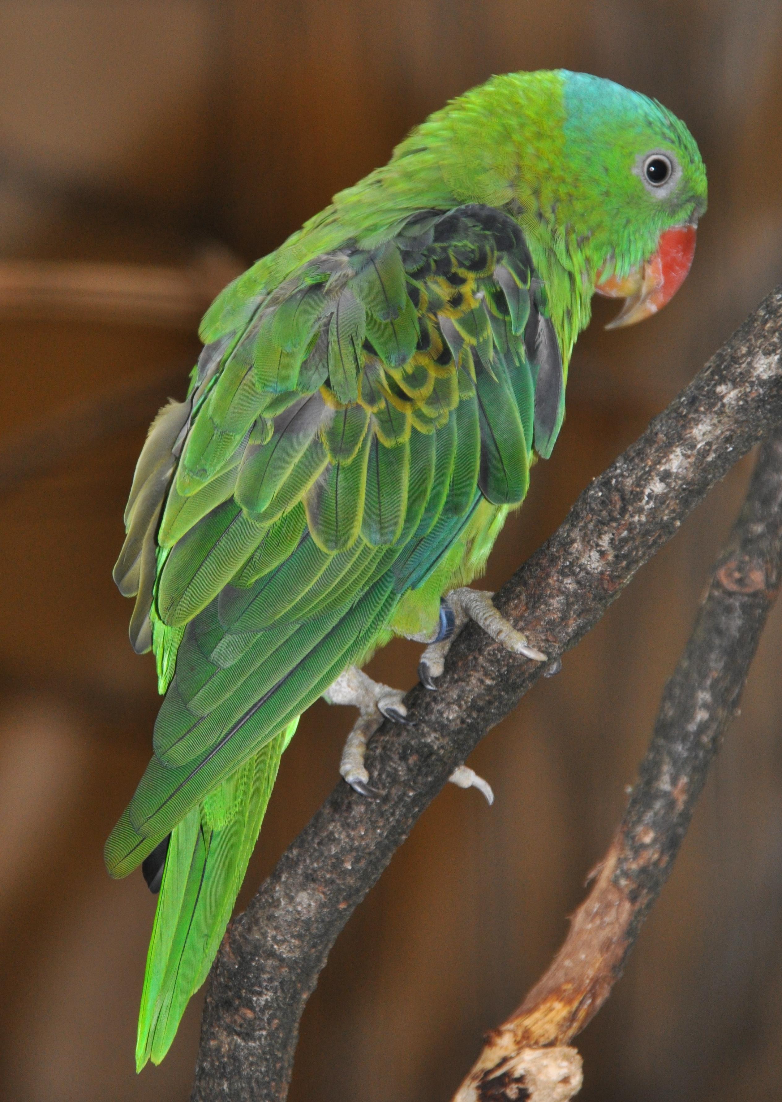 Синешапочный благородный попугай фото
