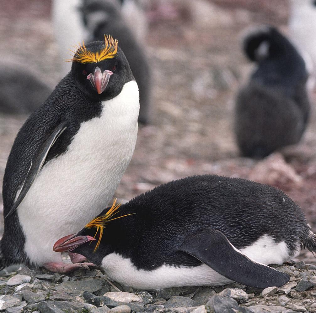 Золотоволосый пингвин фото