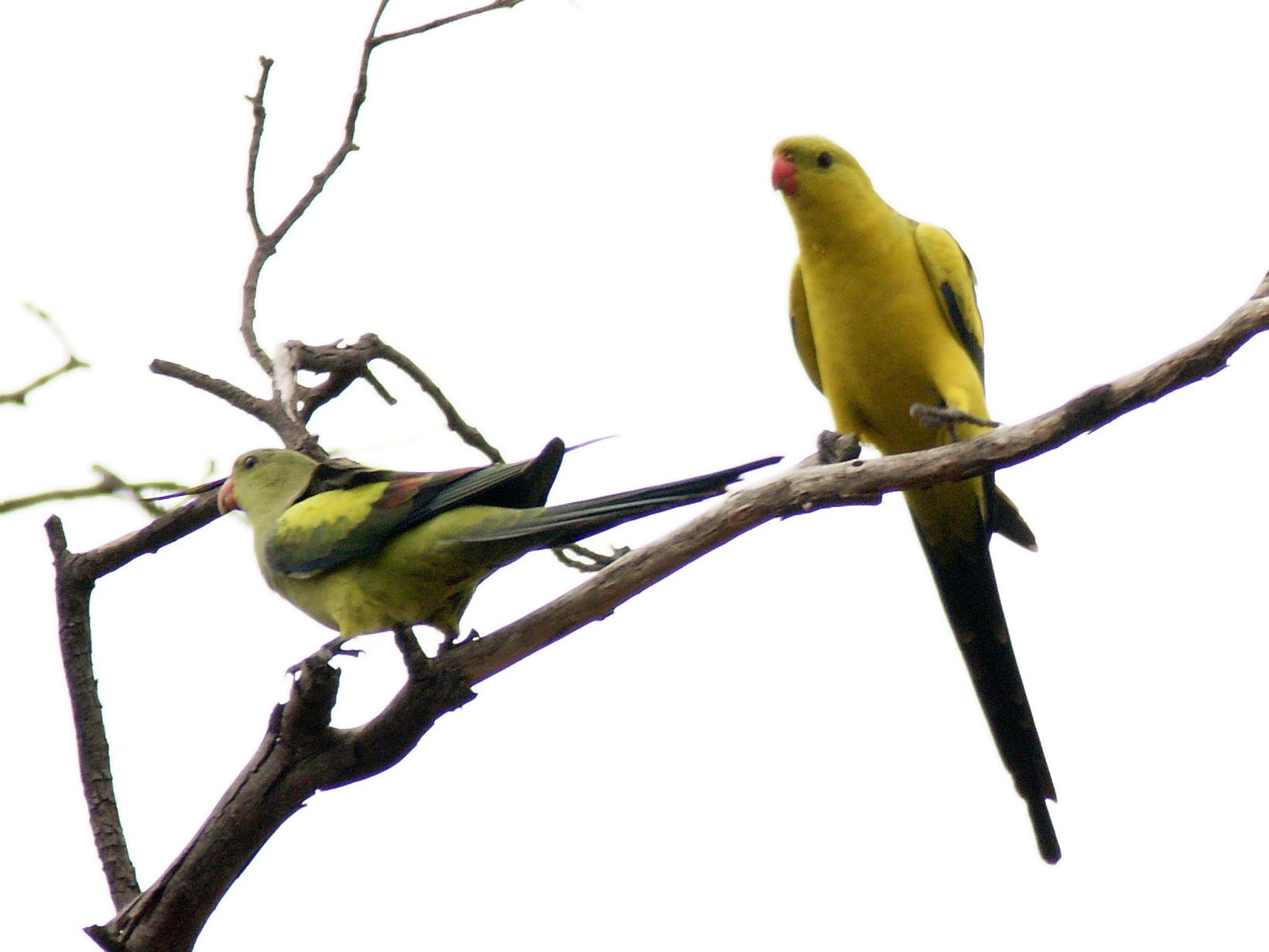 Роскошный горный попугай фото