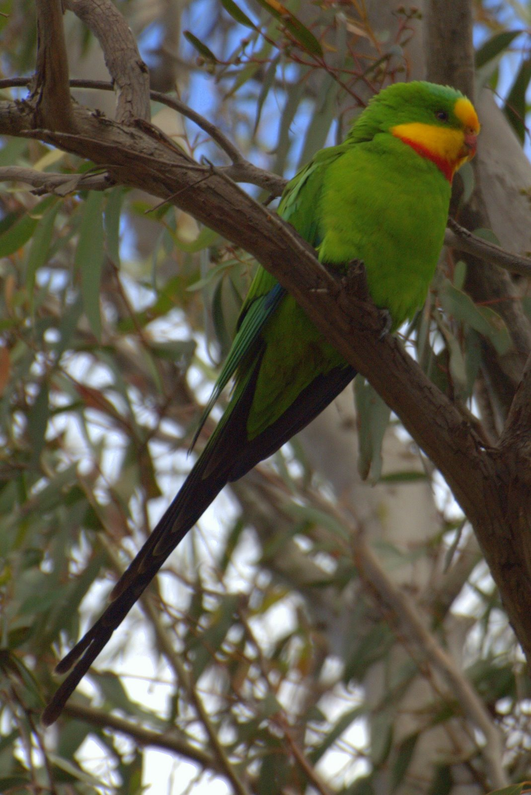 Роскошный баррабандов попугай фото