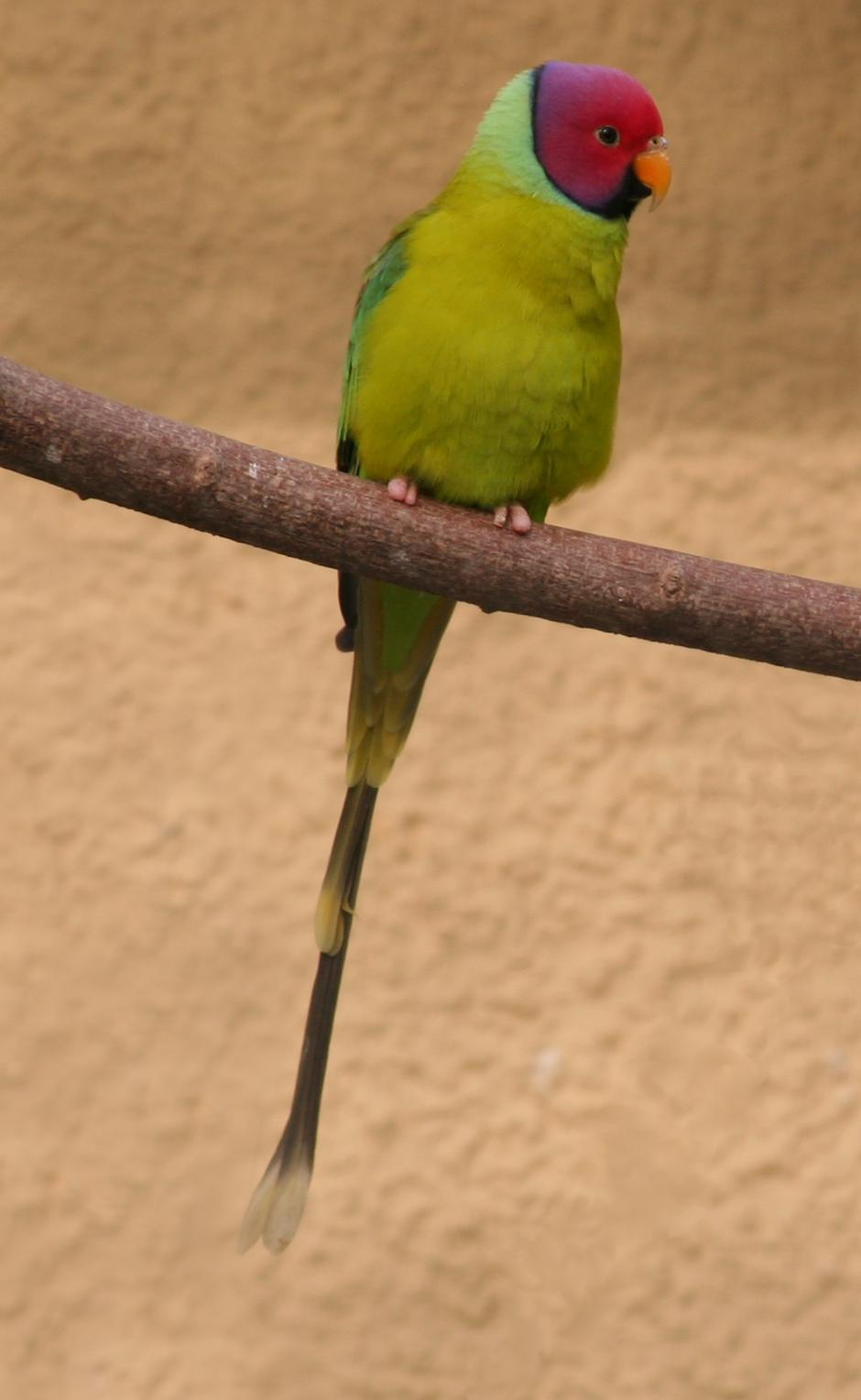 Красноголовый кольчатый попугай фото