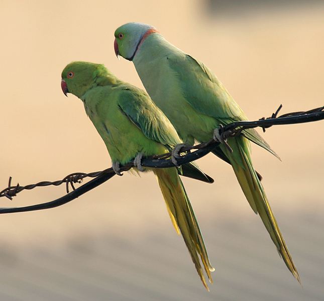 Индийский кольчатый попугай фото