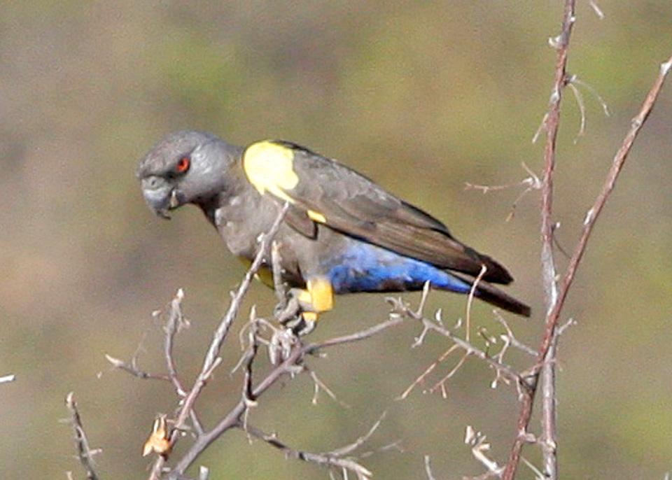Длиннокрылый попугай Рюппеля фото