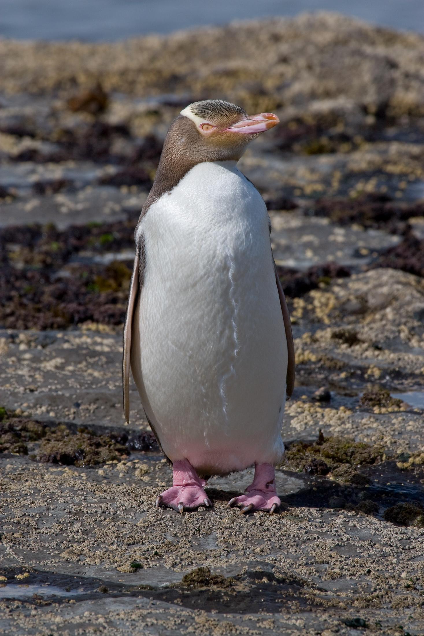 Великолепный пингвин фото