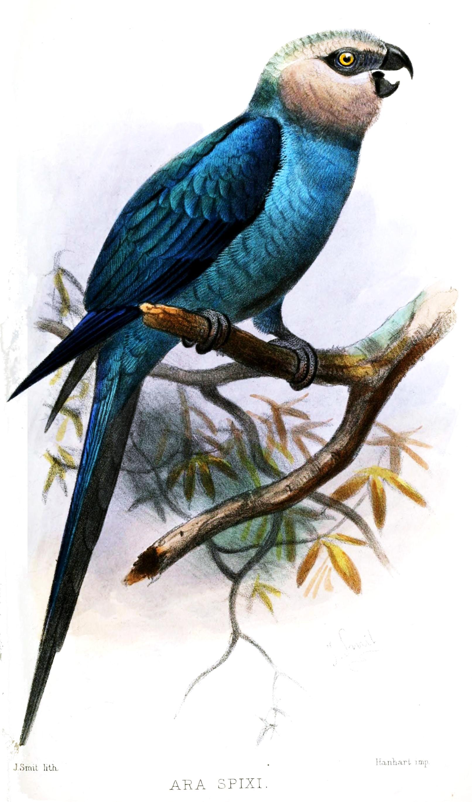 Голубой ара фото