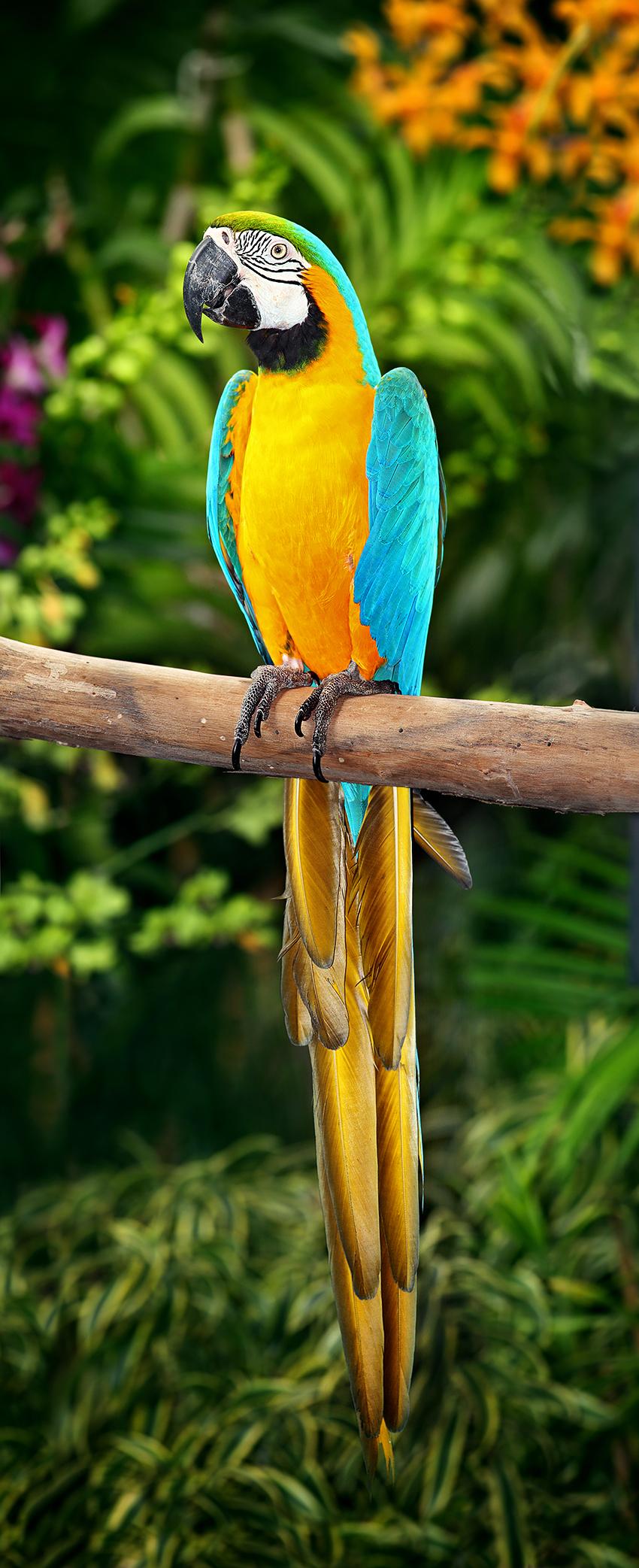 Сине-жёлтый ара фото