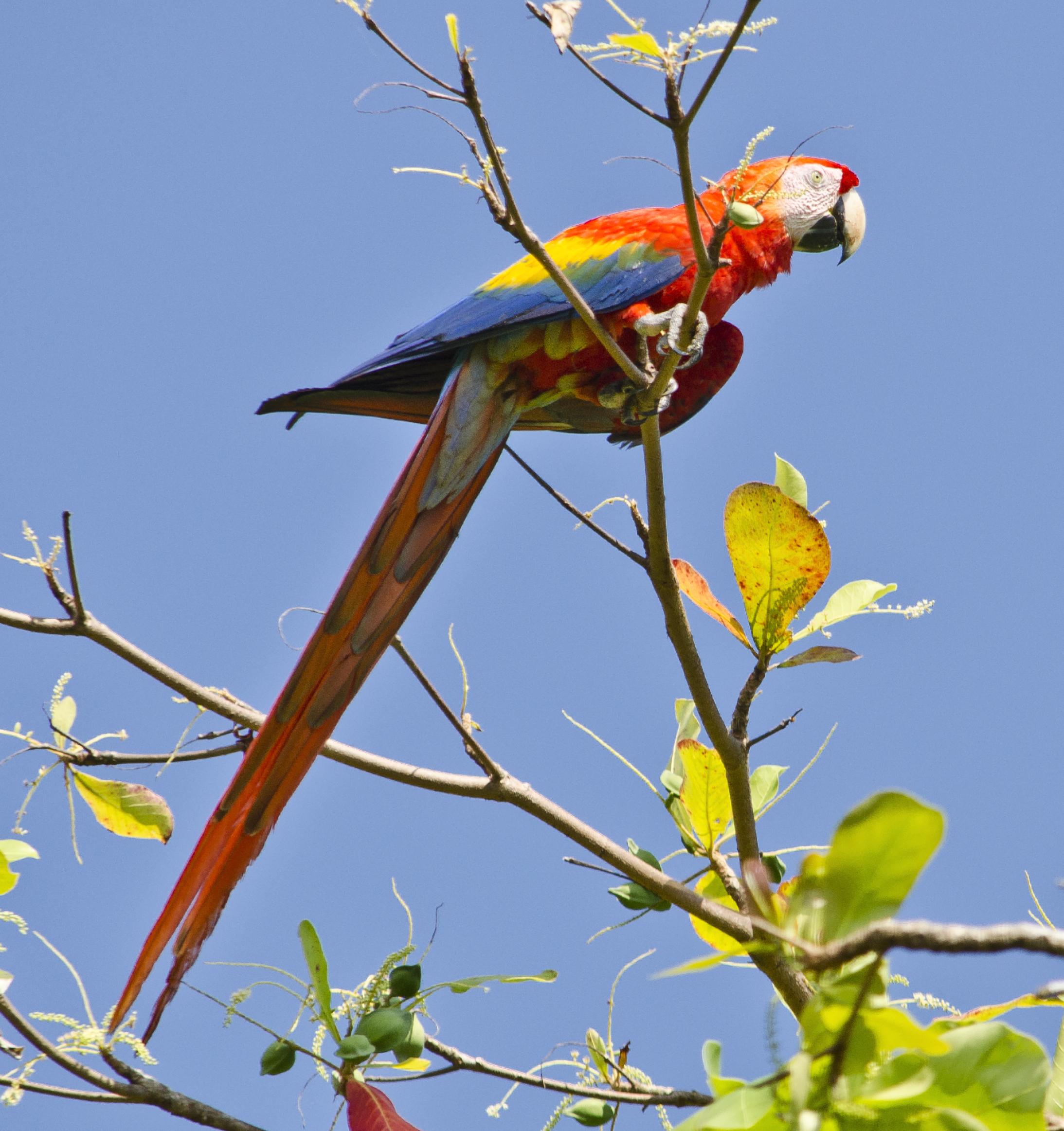 Красный ара фото