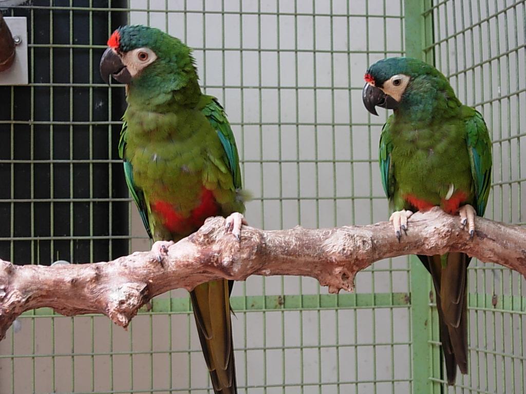 Красноспинный ара фото