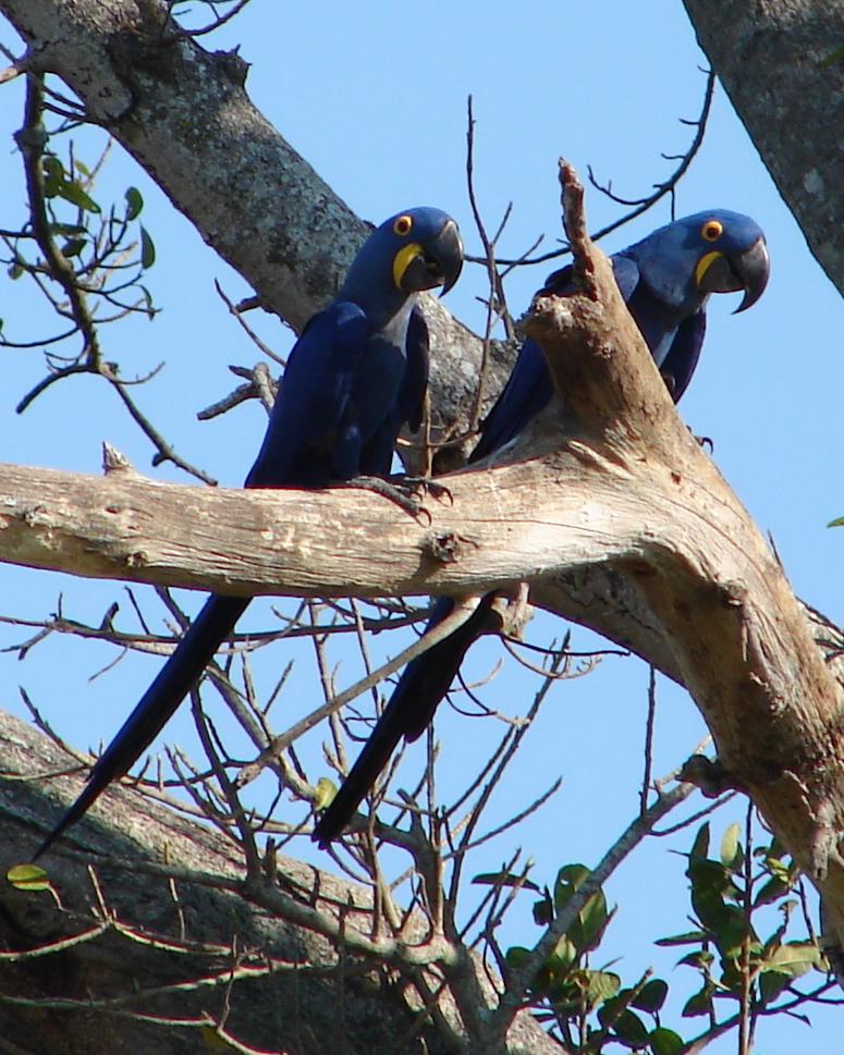 Гиацинтовый ара фото