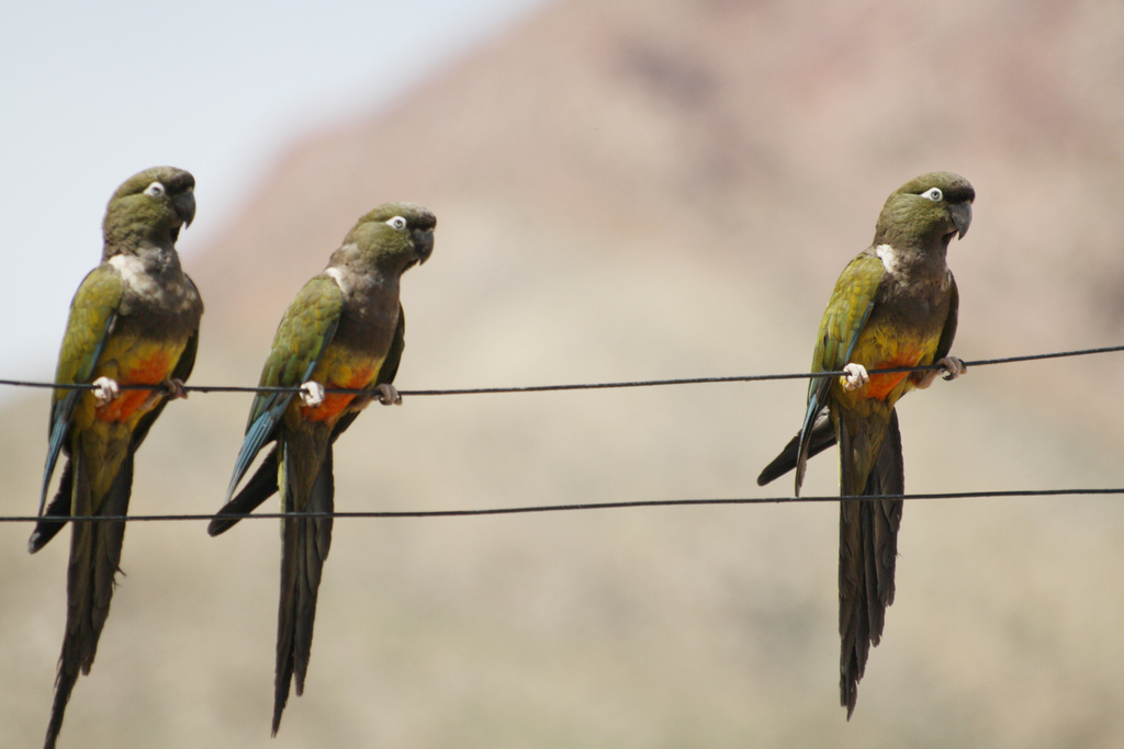 Скалистый попугай фото