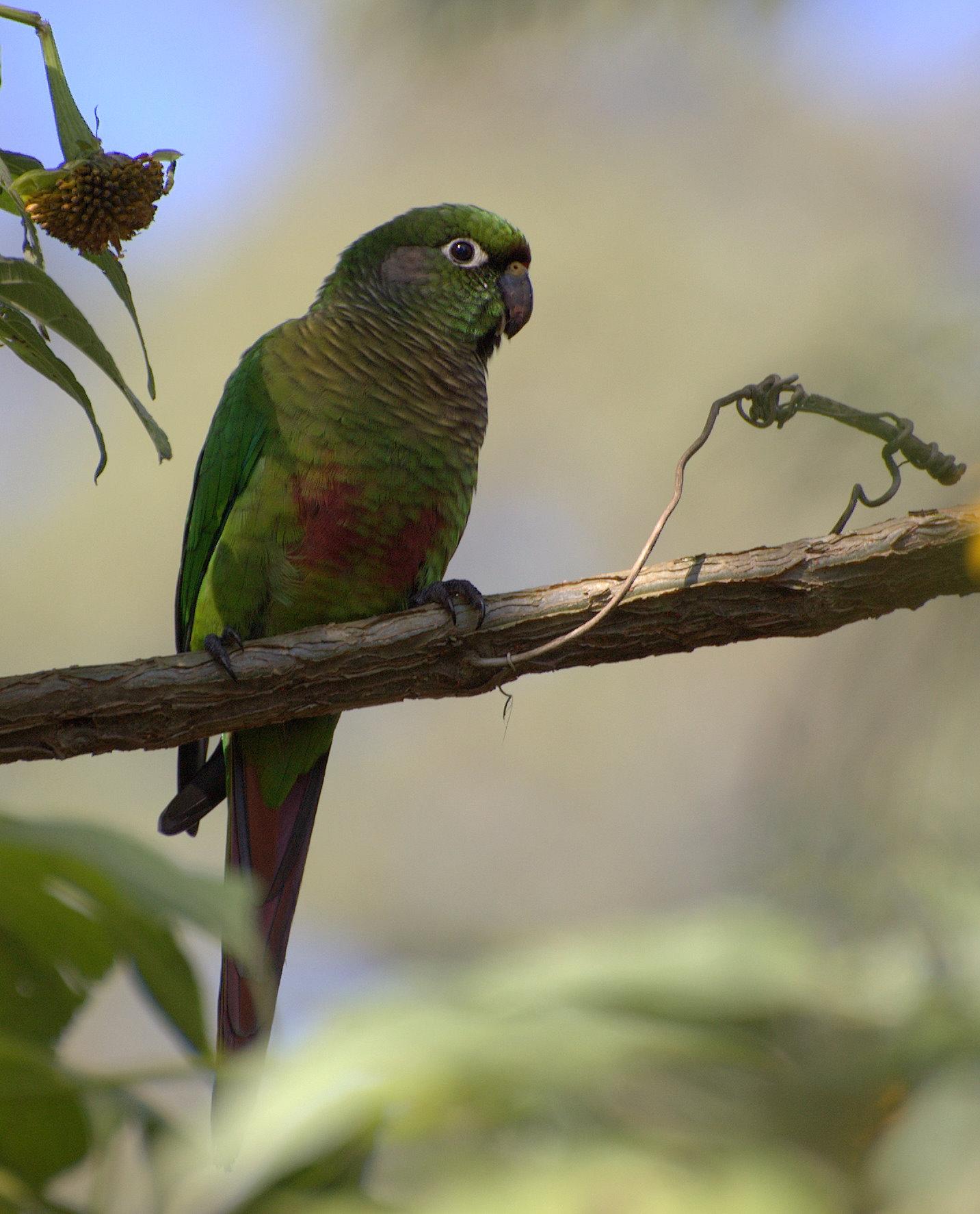 Буроухий краснохвостый попугай фото