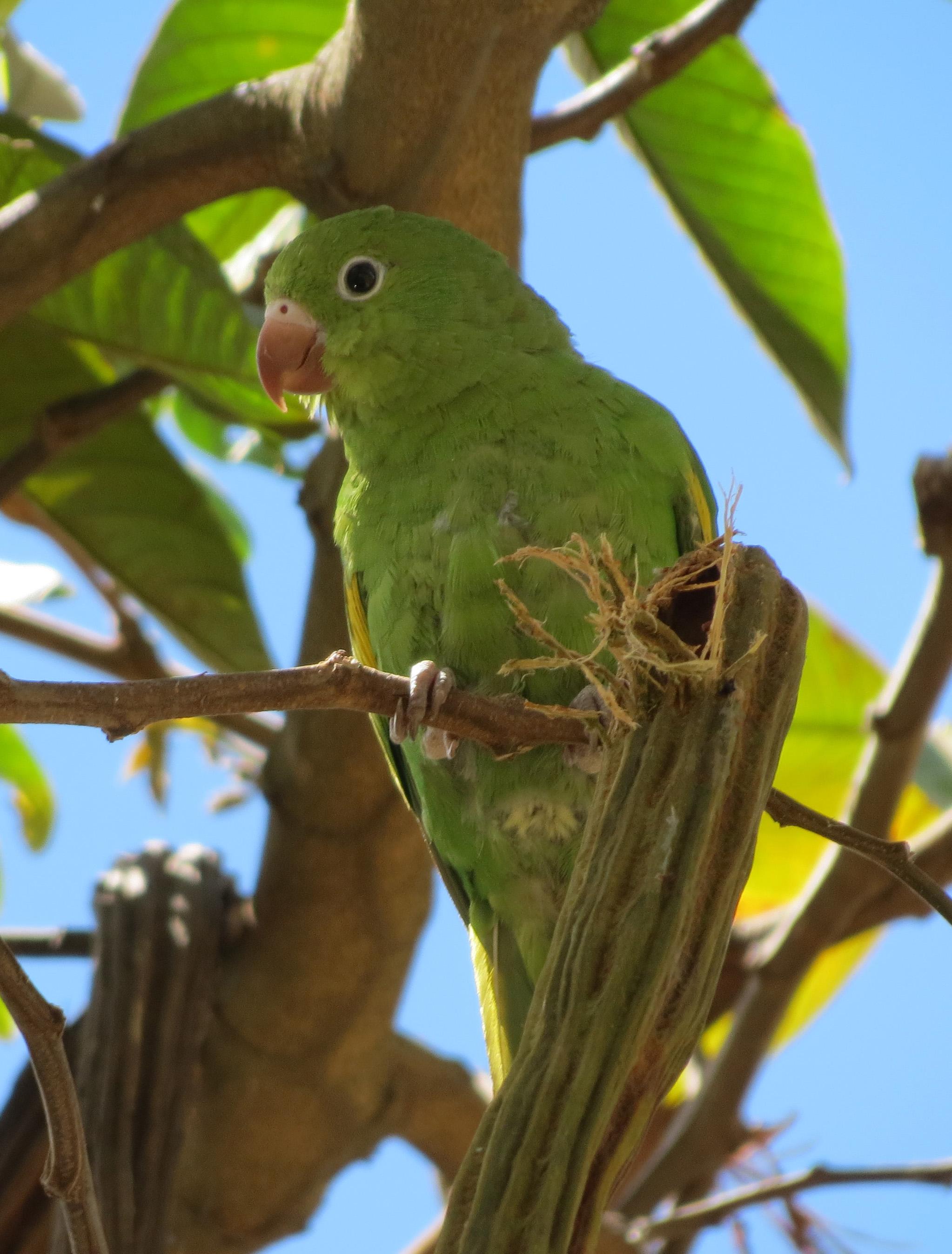 Желтокрылый тонкоклювый попугай фото