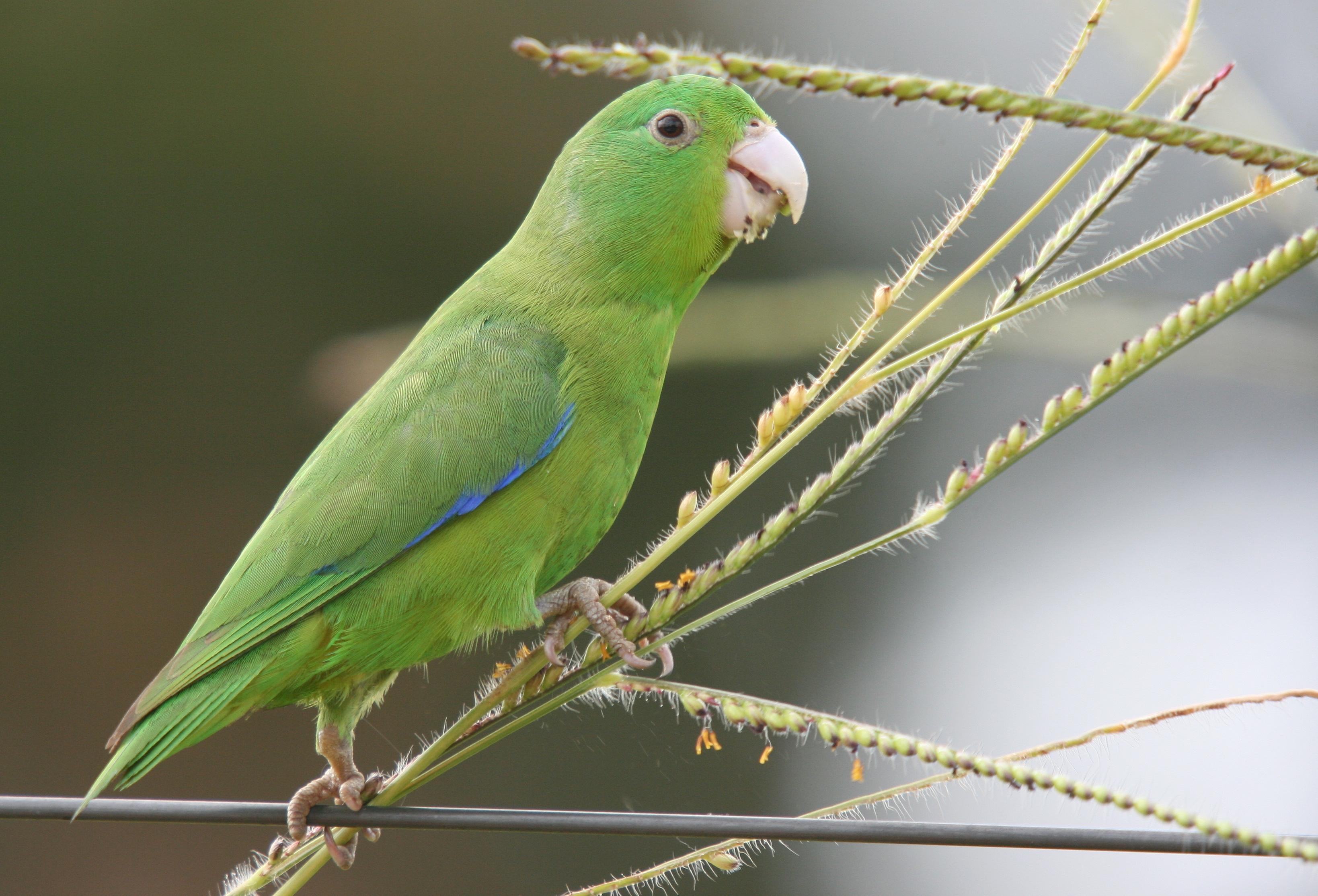 Синекрылый воробьиный попугайчик фото