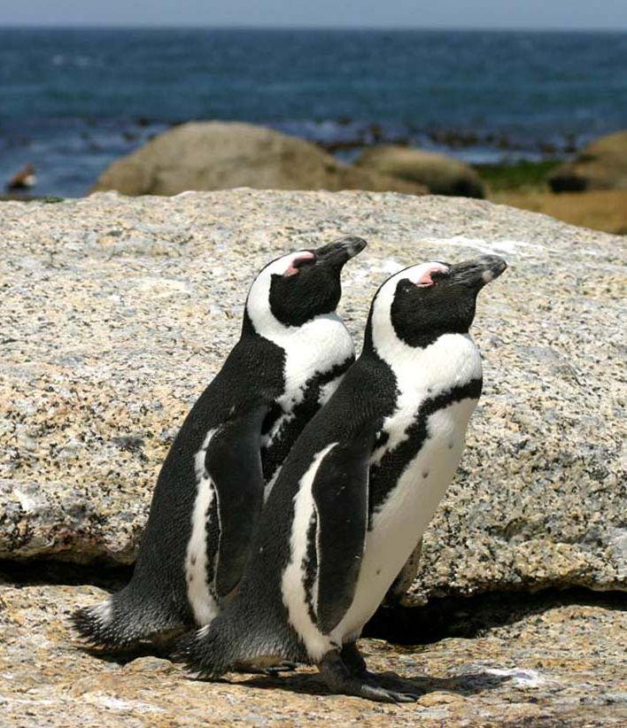 Очковый пингвин (ослиный пингвин) фото